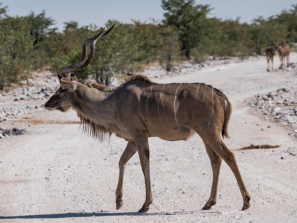 Ein Kudu gesichtet mit Afrikascout im Etosha Nationalpark