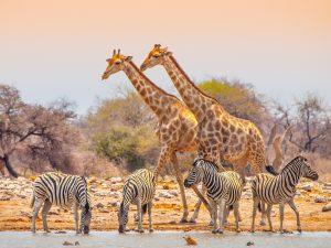 Giraffen am Wasserloch in Etosha mit Afrikascout
