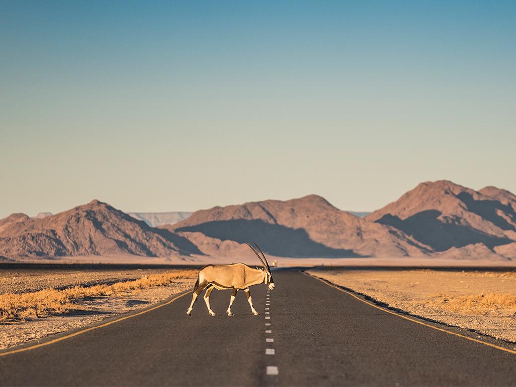 Ein Oryx auf der Strasse in Namibia mit Afrikabiker